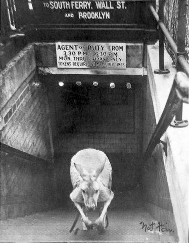 Subway Kangaroo 3/13/1958 by Nat Fein