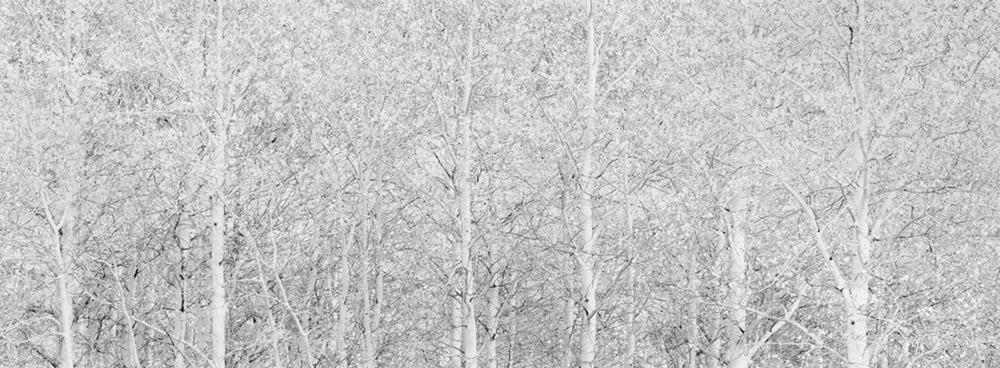 Aspens #1, 2012 by Brian Kosoff
