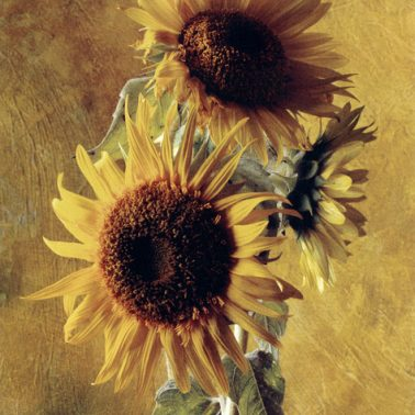 Sunflower of the Incas by Cy DeCosse