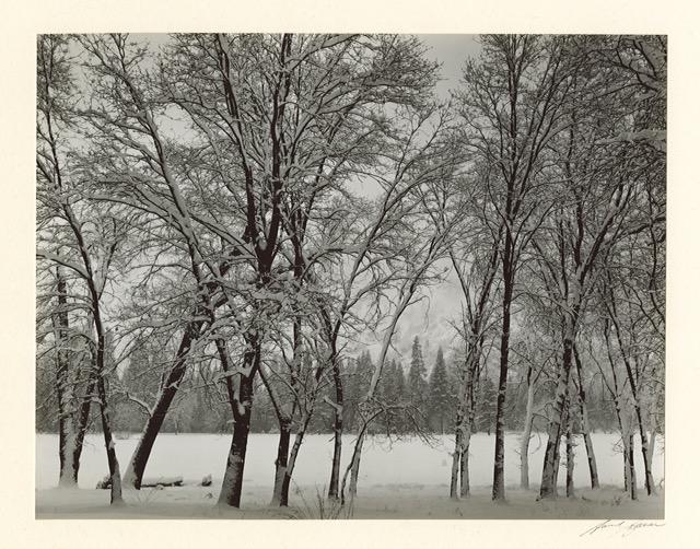 Young Oaks-Winter, Yosemite, 1935 by Ansel Adams