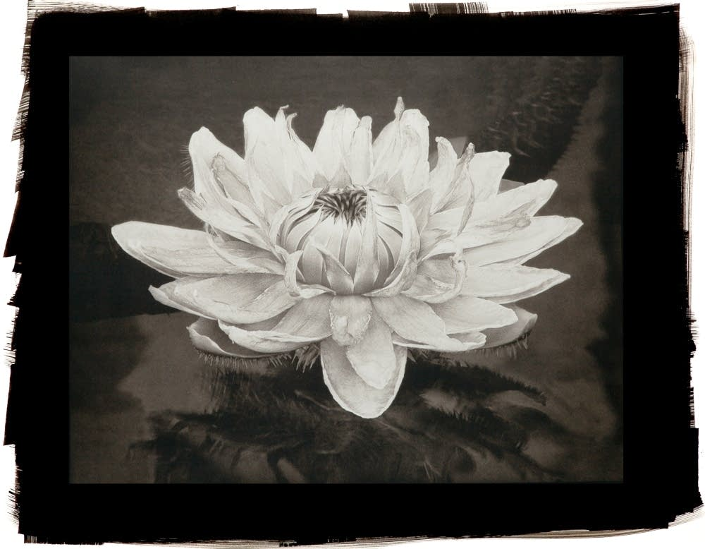 Queen Victoria Lily by Cy DeCosse, platinum print