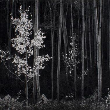 Aspens by Ansel Adams
